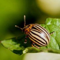 Stonka ziemniaczana to jeden z najpopularniejszych szkodników, który zaczyna atakować nasze rośliny...