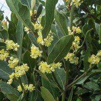 Wawrzyn szlachetny znany powszechnie pod nazwą liść laurowy skrywa w sobie wiele nietuzinkowych właściwości...