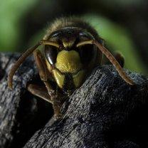 W Polsce rocznie umiera kilkadziesiąt osób na skutek użądlenia owadów błonoskrzydłych, między...