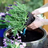 Rośliny balkonowe są piękną letnią ozdobą naszych domów i ogrodów. Jednak, gdy nie pielęgnujemy...