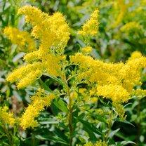 Nie bez przyczyny nawłoć pospolita - zwana popularnie polską mimozą, złotą dziewicą lub złotą...