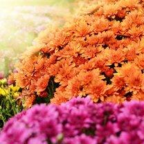 Jesień w pełni, co wcale nie oznacza, że nasz ogród nie może mienić się tysiącami barw. Istnieje...