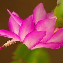 Kaktus Szlumbergera, znany również jako grudnik lub zygokaktus, a przede wszystkim kaktus bożonarodzeniowy...