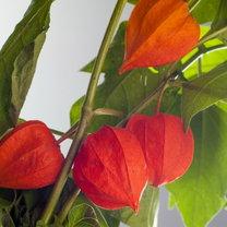 Miechunka często stanowi element dekoracyjny naszych ogrodów.  W polskich warunkach - z powodu niedostosowania...