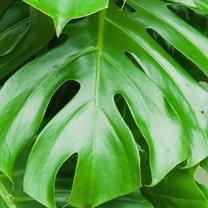 Monstera nie bez powodu wiedzie prym wśród roślin ozdobnych i cieszy się ogromną popularnością...