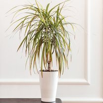 Dracena to jedna z najpopularniejszych roślin doniczkowych nie tylko w Polsce, ale i na świecie. Największym...