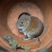 Nornica, choć jest małym gryzoniem, może poczynić - zresztą podobnie jak kret - ogromne szkody w...