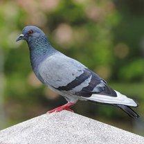 Serwis randkowy z dwoma gołębiami