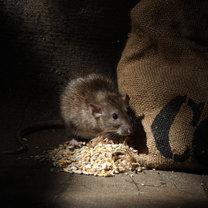 Szczury to gryzonie, które chętnie osiedlają się w naszych domach: w piwnicach, spiżarniach oraz...