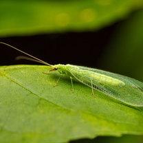 Wiosną i latem jest praktycznie niewidoczny, ponieważ jego ciało wspaniale maskuje się wśród żywej...