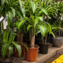 Zadbane rośliny doniczkowe to oryginalna ozdoba wnętrz. Sprawiają też, że powietrze wokół staje...