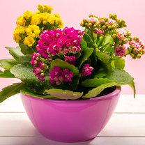 Rośliny doniczkowe stanowią jedną z najbardziej efektownych dekoracji każdego mieszkania. Ożywiają...