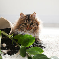 Coraz więcej roślin doniczkowych zdobi nasze mieszkania. Zalet płynących z ich obecności jest wiele;...