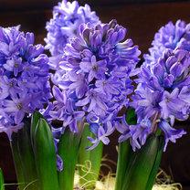 Hiacynty są roślinami o czarującym wyglądzie. Kuszą pięknymi, kolorowymi kwiatostanami zebranymi...