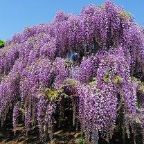 Jest wśród roślin ozdobnych taka, którą zdążyli szczególnie uwielbić Polacy i tej słabości...