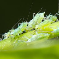 W walce ze szkodnikami roślin, które rujnują nasz ogród, balkon, grządkę czy szklarnię, z pomocą...