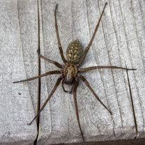 Widok pająka często wywołuje wstręt lub wręcz strach. Tak się dzieje również w przypadku kątnika...