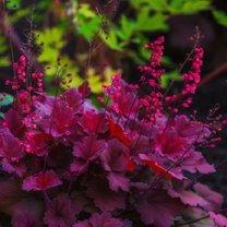 Jest wśród roślin wieloletnich taka, która swoim nietuzinkowym wyglądem cieszy oczy przez cały rok...