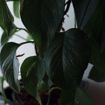 Filodendron pnący (Philodendron scandens) to roślina absolutnie niebanalna i łatwo go polubić nie...