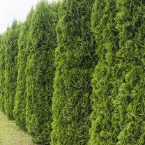 Tuje, czyli żywotniki, to idealne krzewy i drzewa na żywopłoty. Szybko rosną, są odporne na szkodniki...