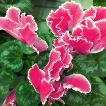 Cyklamen perski słusznie zaliczany jest do grona najczęściej uprawianych w domach gatunków roślin...
