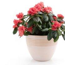 Azalia jest jedną z najpopularniejszych, obok storczyków, kwitnących roślin. To, co ją odróżnia...