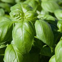 Bazylia jest aromatyczną rośliną, która znajduje zastosowanie szczególnie w kuchni włoskiej. Jej...